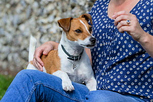 Jack Russell terrier on lap of owner, rescue dog, Wiltshire, UK  -  TJ Rich