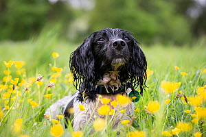 Black and white springer spaniel amongst buttercups, Chilbolton Cow Common SSSI, Hampshire, UK - TJ Rich