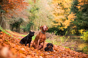 Wirehaired daschund, Staffordshire bull terrier and Hungarian viszla in autumn colours, Wiltshire, UK  -  TJ Rich