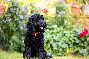 Black cockapoo in garden. Wiltshire, UK - TJ Rich