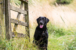 Black Labrador retriever at gate. Wiltshire, UK - TJ Rich