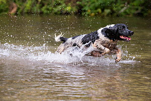 Black and white springer spaniel running in river. River Test, Chilbolton Cow Common SSSI, Hampshire, UK  -  TJ Rich