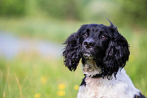 Black and white springer spaniel on banks of River Test, Chilbolton Cow Common SSSI, Hampshire, UK - TJ Rich