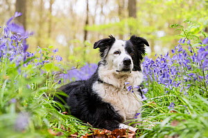 Black and white Border Collie lying amongst bluebells, in beech woodland, Micheldever Woods, Hampshire, UK  -  TJ Rich