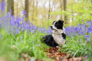Black and white Border Collie lying alert amongst bluebells, in beech woods, Micheldever Woods, Hampshire, UK  -  TJ Rich