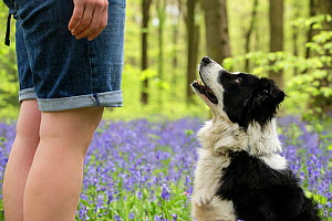 Black and white Border Collie looking at owner amongst bluebells, in beech woods, Micheldever Woods, Hampshire, UK  -  TJ Rich