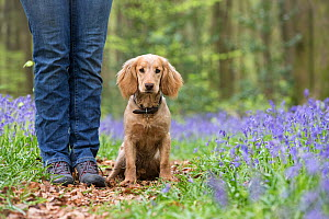 Golden working cocker spaniel puppy at owners feet, amongst bluebells in beech woodland. Micheldever Woods, Hampshire, UK  -  TJ Rich
