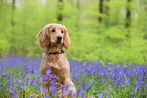 Golden working cocker spaniel puppy sitting amongst bluebells in beech woodland. Micheldever Woods, Hampshire, UK  -  TJ Rich