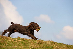 Chocolate working cocker spaniel running with ball. Clevedon, Somerset, UK  -  TJ Rich