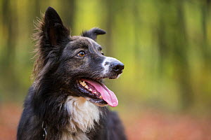Collie crossbreed rescue dog in beech woodland. Micheldever Woods, Hampshire, UK - TJ Rich