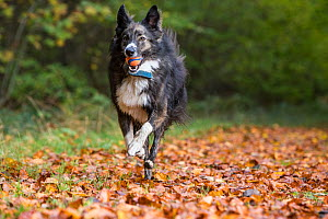 Collie crossbreed rescue dog running in beech woodland. Micheldever Woods, Hampshire, UK - TJ Rich