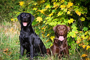 Two young Labrador retrievers, black (male) and chocolate (female), Somerset, UK  -  TJ Rich