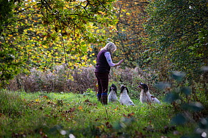 Three working springer spaniels in training, Somerset, UK  -  TJ Rich