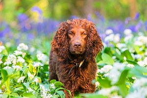 Working cocker spaniel amongst Ramsons and Bluebells (Hyacinthoides non-scripta), Gopher Wood SSSI, Marlborough Downs, Wiltshire, UK  -  TJ Rich
