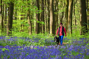 Collie crossbreed with owner in bluebells, in beech woodland. Micheldever Woods, Hampshire, UK  -  TJ Rich