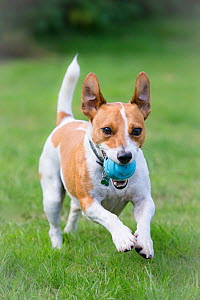 Jack Russell Terrier running with ball. Wiltshire, UK  -  TJ Rich