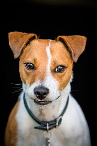 Jack Russell Terrier, Wiltshire, UK  -  TJ Rich