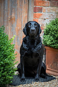 Black Labrador retriever waiting by door. Wiltshire, UK - TJ Rich