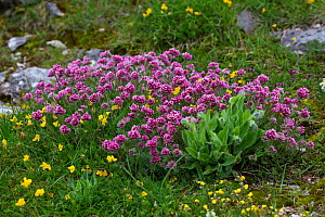 Mountain kidney-vetch (Anthyllis montana) and Bird's-foot trefoil (Lotus sp) in alpine meadow. Plateau de Beurre, Vercors Regional Natural Park, France. June.  -  Mike Read