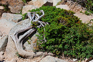 Dwarf juniper (Juniperus procumbens nana) growing over rocks with Mount Etna barberry (Berberis aetnensis). Restonica Valley, Regional Natural Park of Corsica, France. July.  -  Mike Read