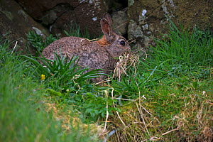 European rabbit (Oryctolagus cuniculus) collecting bedding. Lunga Island, Treshnish Isles, Inner Hebrides, Scotland, UK. May. - Mike Read