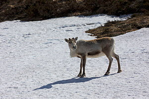 Reindeer (Rangifer tarandus) standing on snow. Cairngorms National Park, Highlands, Scotland, UK. May. - Mike Read