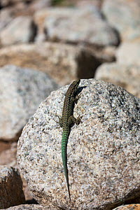 Tyrrhenian wall lizard (Podarcis tiliguerta) basking on rock. Restonica Valley, Regional Natural Park of Corsica, France. July. - Mike Read