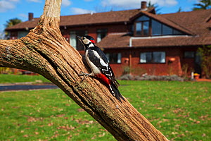 Great spotted woodpecker (Dendrocopos major) perched on tree in garden. Crow, Ringwood, Hampshire, England, UK. April 2018. - Mike Read