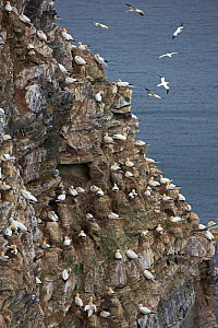 Northern gannet (Morus bassanus) nesting colony on cliff. Troup Head, Aberdeenshire, Scotland, UK. May.  -  Mike Read