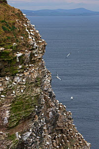 Northern gannet (Morus bassanus) nesting colony on cliff. Troup Head, Aberdeenshire, Scotland, UK. May 2018.  -  Mike Read