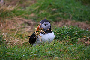 Atlantic puffin (Fratercula arctica) with nesting material in beak. Lunga Island, Treshnish Isles, Firth of Lorn, Inner Hebrides, Argyll and Bute, Scotland, UK. May. - Mike Read