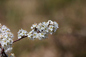 Blackthorn (Prunus spinosa) flowers. Isle of Purbeck, Dorset, England, UK. April.  -  Mike Read