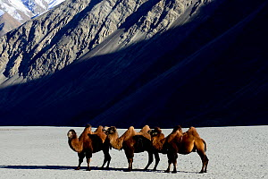 Bactrian camels (Camelus bactrianus) on sand, Nubra Valley, Ladakh, India. September.  -  Enrique Lopez-Tapia