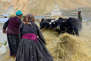 Women feeding domestic yaks. Village of Kanji, Zanskar, Ladakh, India, September 2018. - Enrique Lopez-Tapia