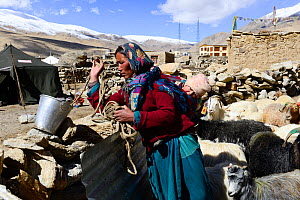 Woman from Puga village carrying baby on her back while taking care of her goats . Rupshu region, Ladakh, India, September 2018. - Enrique Lopez-Tapia