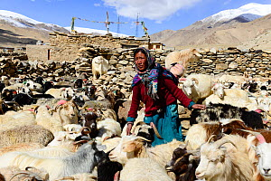 Woman from the village of Puga taking care of her goats. Rupshu region of Ladakh, ,India, September 2018.  -  Enrique Lopez-Tapia