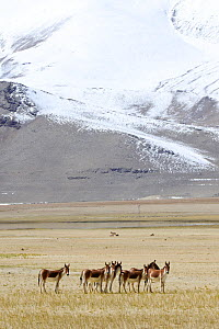 Kiangs (Equus kiang) on grassland by Tso Kar Lake, Chantang Wildlife Sanctuary. Ladakh, India, - Enrique Lopez-Tapia