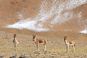 Kiangs (Equus kiang) prairies of Tso Kar Lake, Chantang Wildlife Sanctuary, Ladakh , India, - Enrique Lopez-Tapia