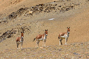 Kiangs (Equus kiang) near Tso Kar Lake, Chantang Wildlife Sanctuary, Ladakh , India. - Enrique Lopez-Tapia