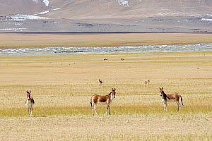 Kiangs (Equus kiang) on grassland near Tso Kar Lake, Chantang Wildlife Sanctuary. Ladakh, India, September 2018. - Enrique Lopez-Tapia