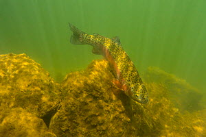 Rainbow trout (Oncorhynchus mykiss) in cold turbid water, Gunnison River, Colorado, USA, April.  -  Charlie  Summers