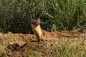 Short-tailed Weasel (Mustela erminea) at burrow, North Park, Colorado, USA, June.  -  Charlie  Summers