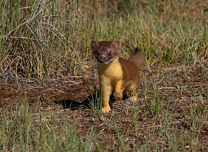Shote-tailed weasel (Mustela erminea) juvenile, North Park, Colorado, USA, June. - Charlie  Summers