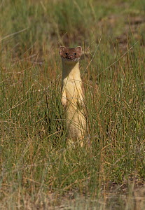 Short-tailed weasel (Mustela erminea) standing alert. North Park, Colorado, USA, June. - Charlie  Summers