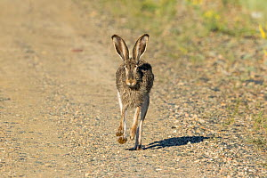White-tailed jackrabbit (Lepus townsendii) running on a dirt road, Jackson County, Colorado, USA, June.  -  Charlie  Summers