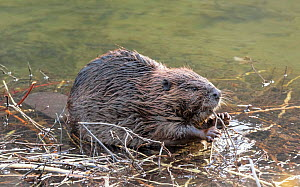 American beaver (Castor canadensis) feeding on twig, Gunnison River, Colorado, USA, April.  -  Charlie  Summers