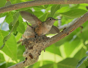 Broad-tailed hummingbird (Selasphorus platycercus) chick fledging, exercising wings,. Aurora, Colorado, USA. August.  -  Charlie  Summers