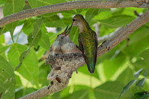 Broad-tailed hummingbird (Selasphorus platycercus) female feeding chicks, about to fledge. Aurora, Colorado, USA. August.  -  Charlie  Summers