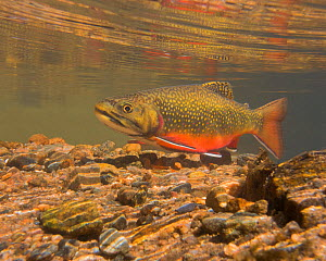Brook trout (Salvelinus fontinalis) in breeding colouration, migrating upstream to spawn, Colorado, USA, September.  -  Charlie  Summers