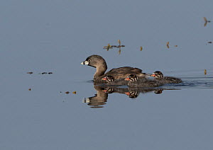 Pied-billed grebe (Podilymbus podiceps) with three chicks on back swimming on pond, Colorado, USA, July.  -  Charlie  Summers